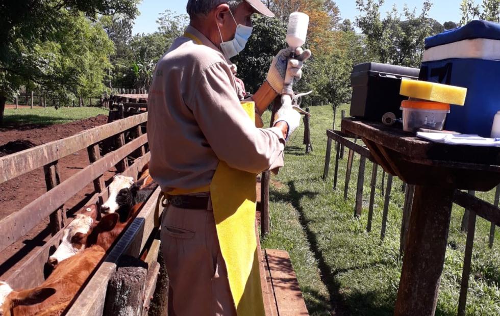 Se inició en todo el territorio de Corrientes la 2° campaña antiaftosa