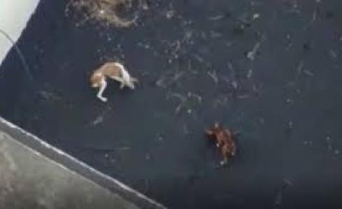 La Palma: planean inédito rescate con drones de perros atrapados entre ríos de lava