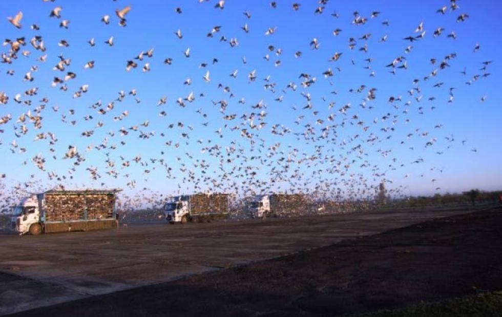 Soltaron más de veinte mil palomas en el Aeropuerto de Curuzú Cuatiá